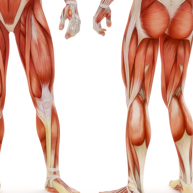 Learn Your Muscles For Therapists Lower Body